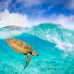 sea turtle in okinawa waters