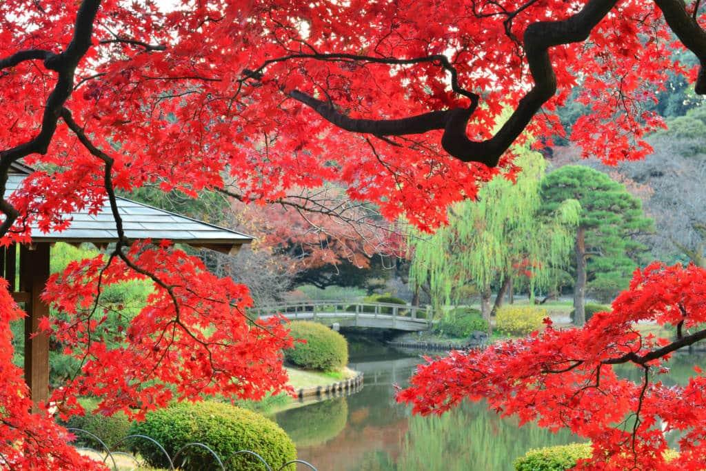 shinjuku gyoen garden maple tree
