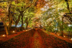 maple tunnel fuji