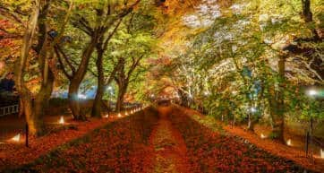 maple tunnel fuji