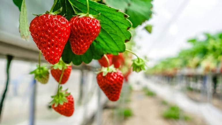 strawberry farm gunma