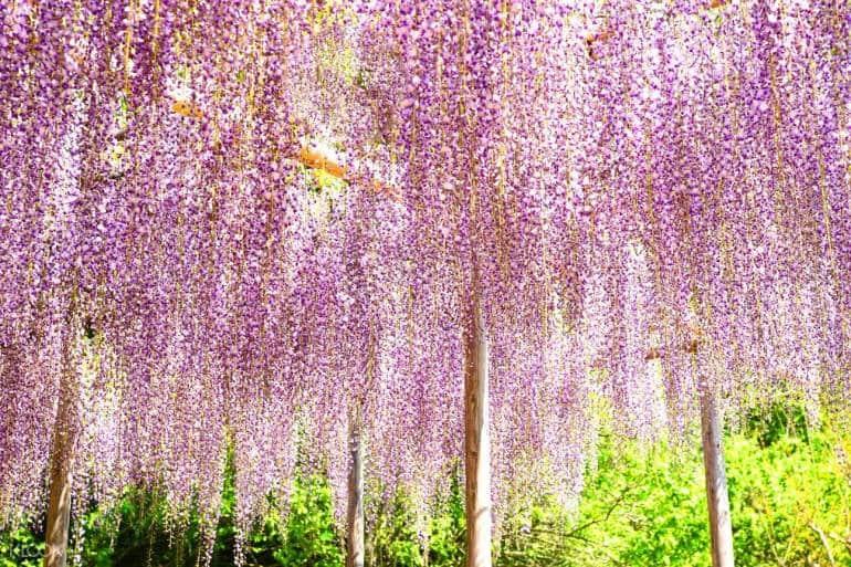 ashikaga flower park japan