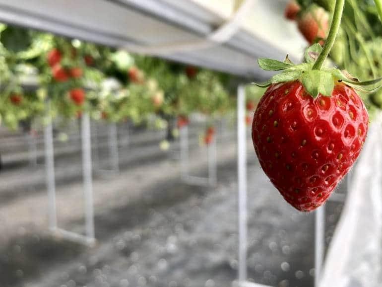 gunma strawberry