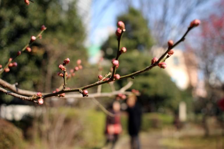plum at koshikawa korakuen