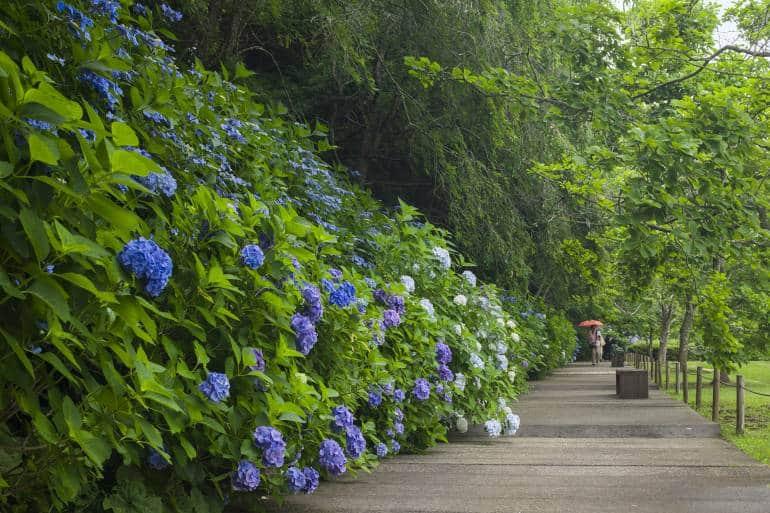 hydrangeas and greenery