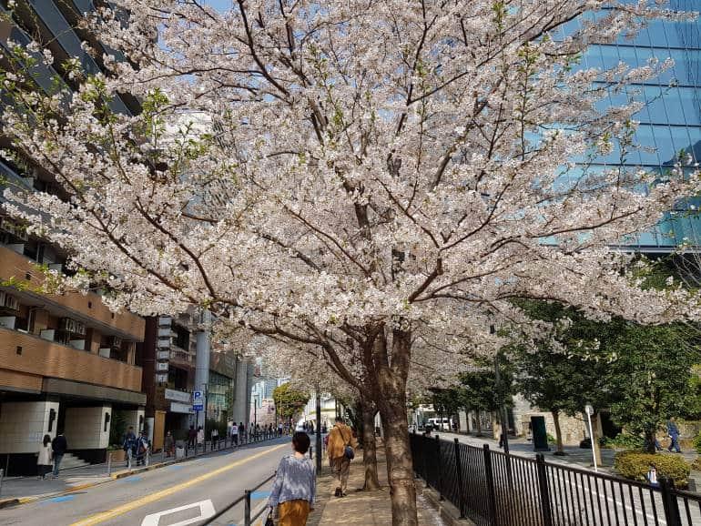 cherry blossoms akasaka - Approach to National Art Center Tokyo