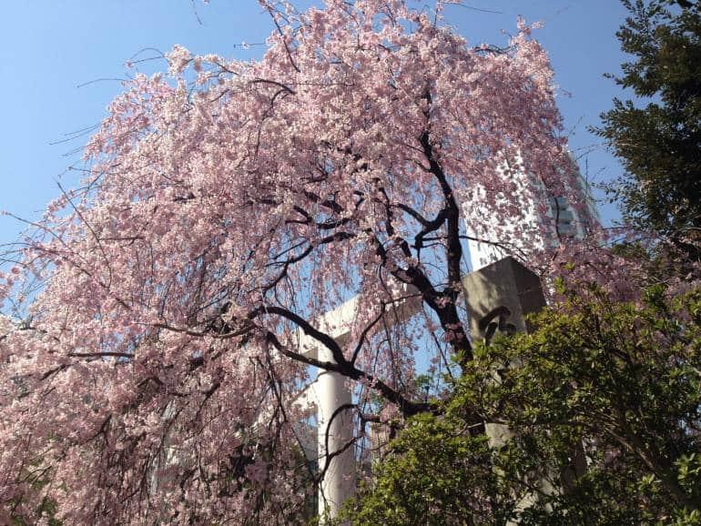 Nogi Shrine Cherry Tree