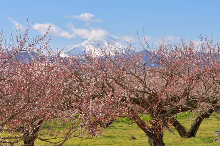 plums with mount fuji in the background
