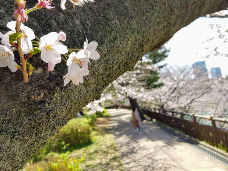 cherry blossoms akasaka Sophia Dori Sakura