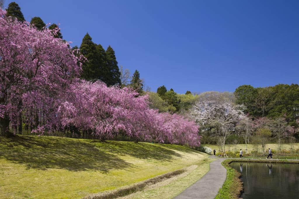 Narita cherry blossoms spring