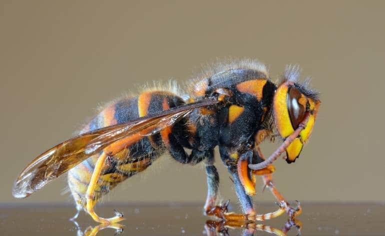 Japanese giant hornet Tokyo Japan