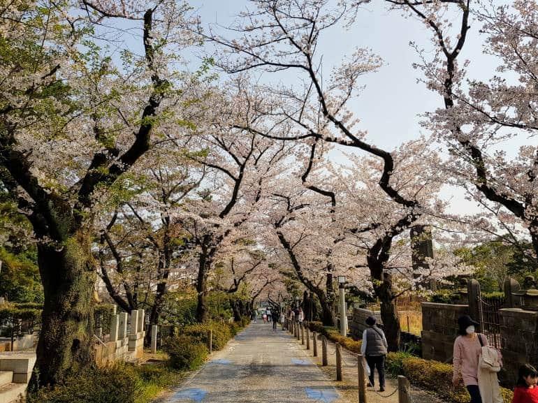 Cherry Blossoms Aoyama Cemetery