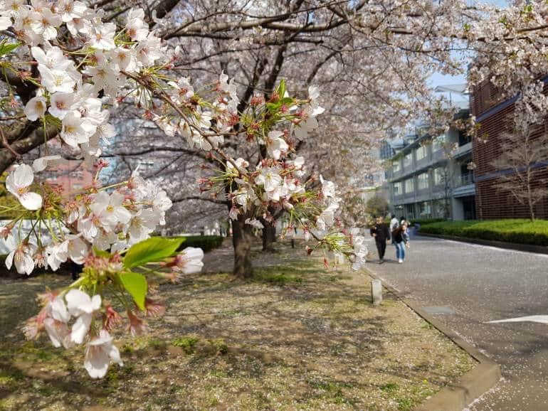 cherry blossoms roppongi