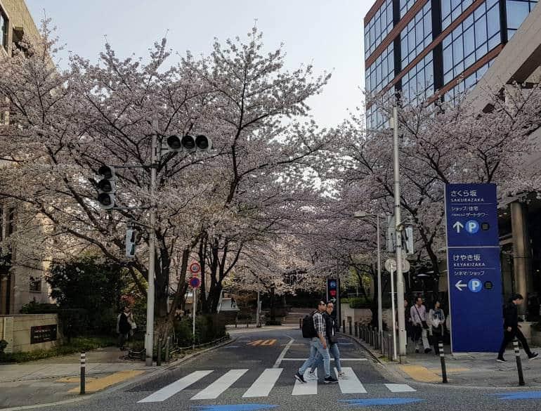 Cherry Blossoms Roppongi Sakurazaka