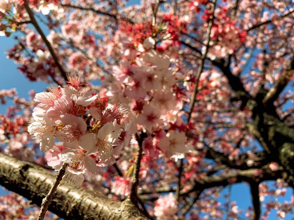 Atami cherry blossoms