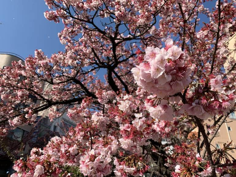 Atami cherry blossoms