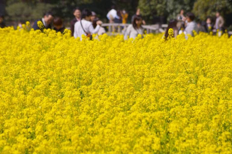 Yellow rapeseed flowers at Hamarikyu Gardens