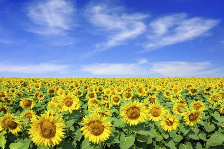 Sunflower field and blue skies