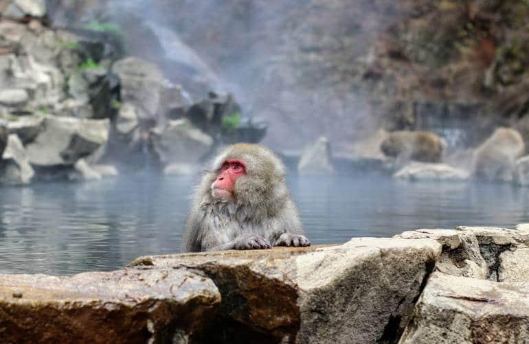 Jidokudani monkeys