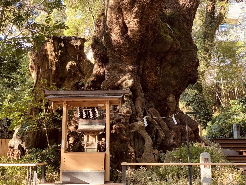 kinomiya-shrine and camphor tree