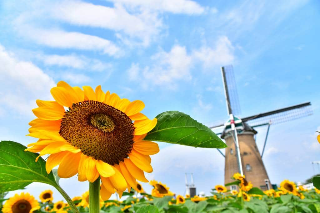 sunflower fields with windmill in the background on a nice spring day at Sakura Furusato Square