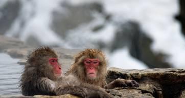 monkey onsen