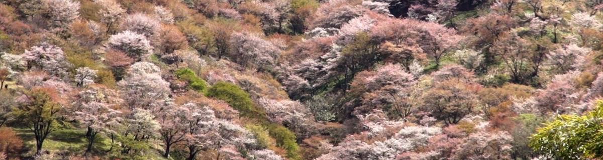 Mount Yoshino: Japan's Best Cherry Blossom Spot