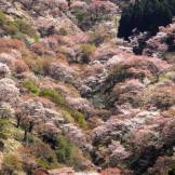 mount yoshino trees