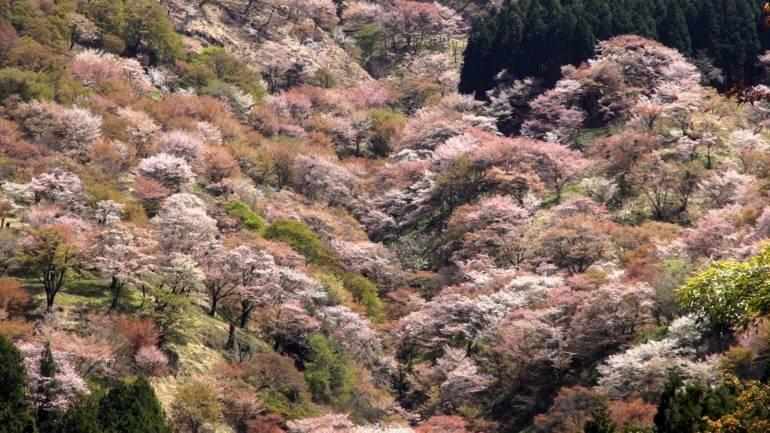 mount yoshino trees