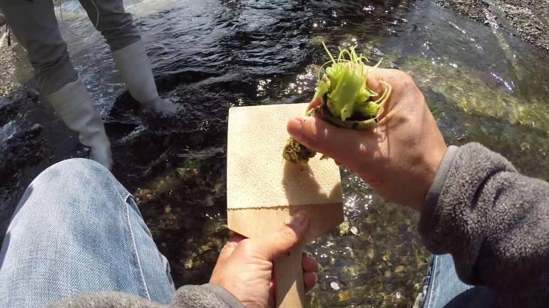 Grating the wasabi