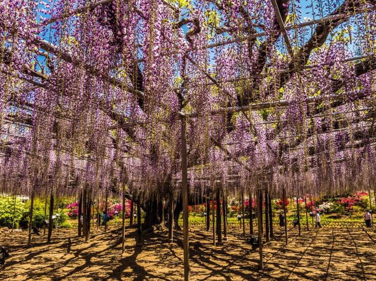 Ashikaga_Flower_Park_1-770x577