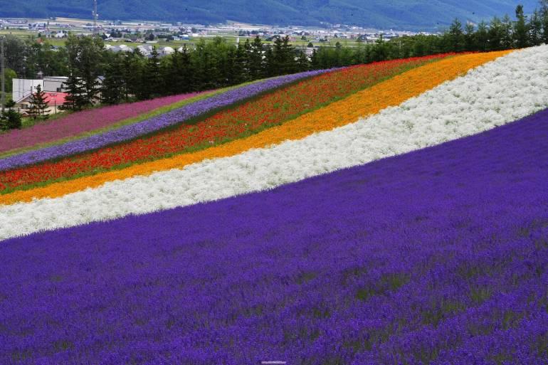 lavender hokkaido