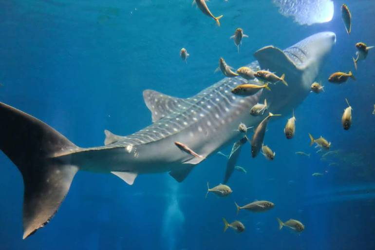 Kaiyukan Whale Shark - things to do in osaka