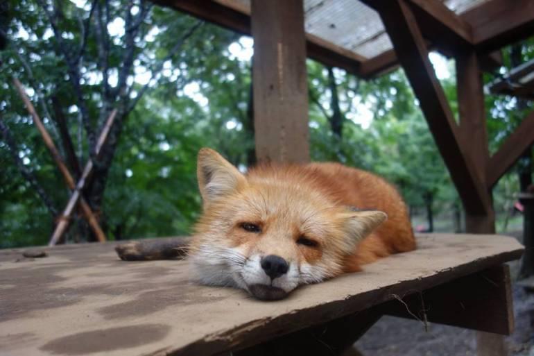 foxeye