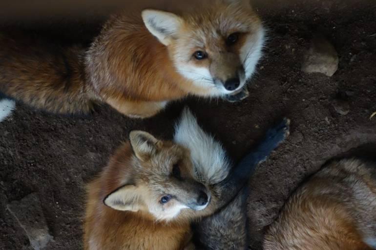 foxstare