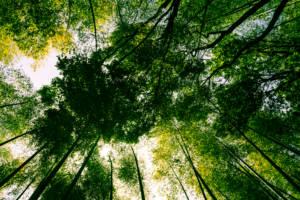 sagano bamboo forest arashiyama kyoto