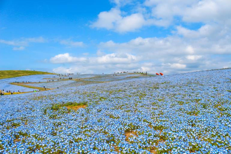 nemophila flowers field at hitachi seaside park