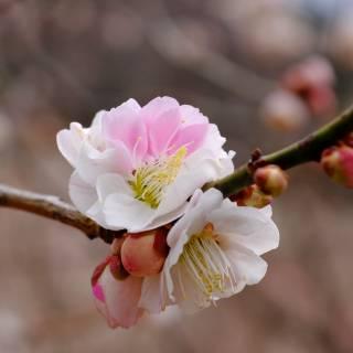 Souriike Plum Blossom Festival