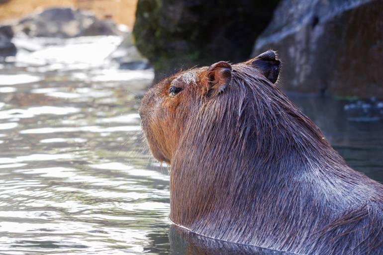 Capybara bathing