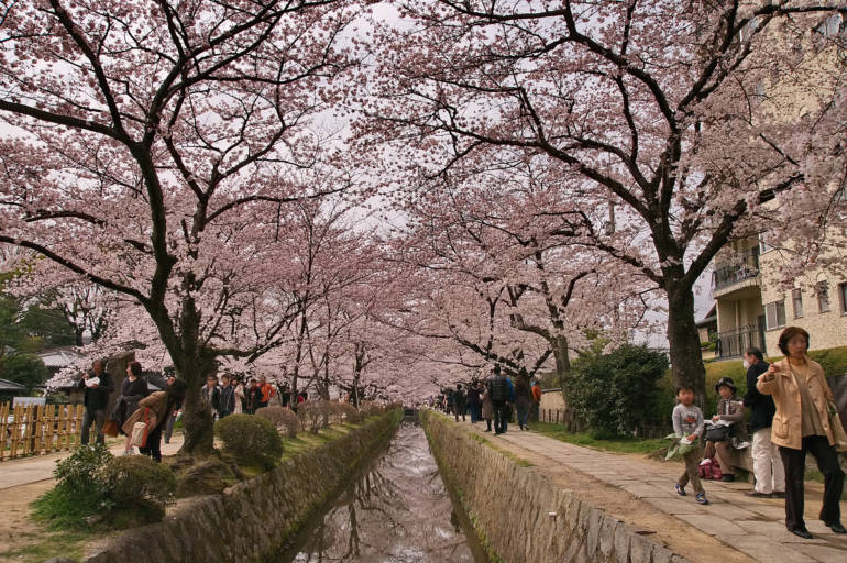 Spring Philosopher's path Cherry blossom