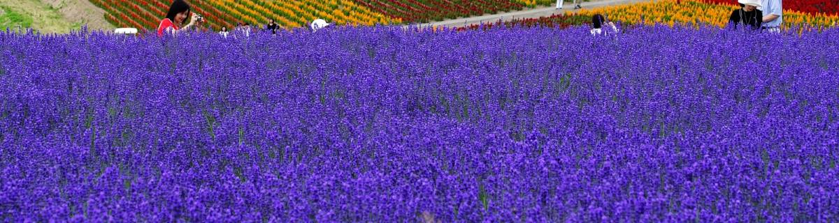 Hokkaido Lavender Fields and Other Summer Blossoms
