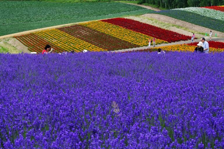hokkaido lavender furano