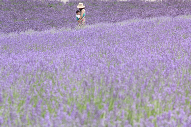 Visiting Hokkaido Lavender Fields & Other Blossoms
