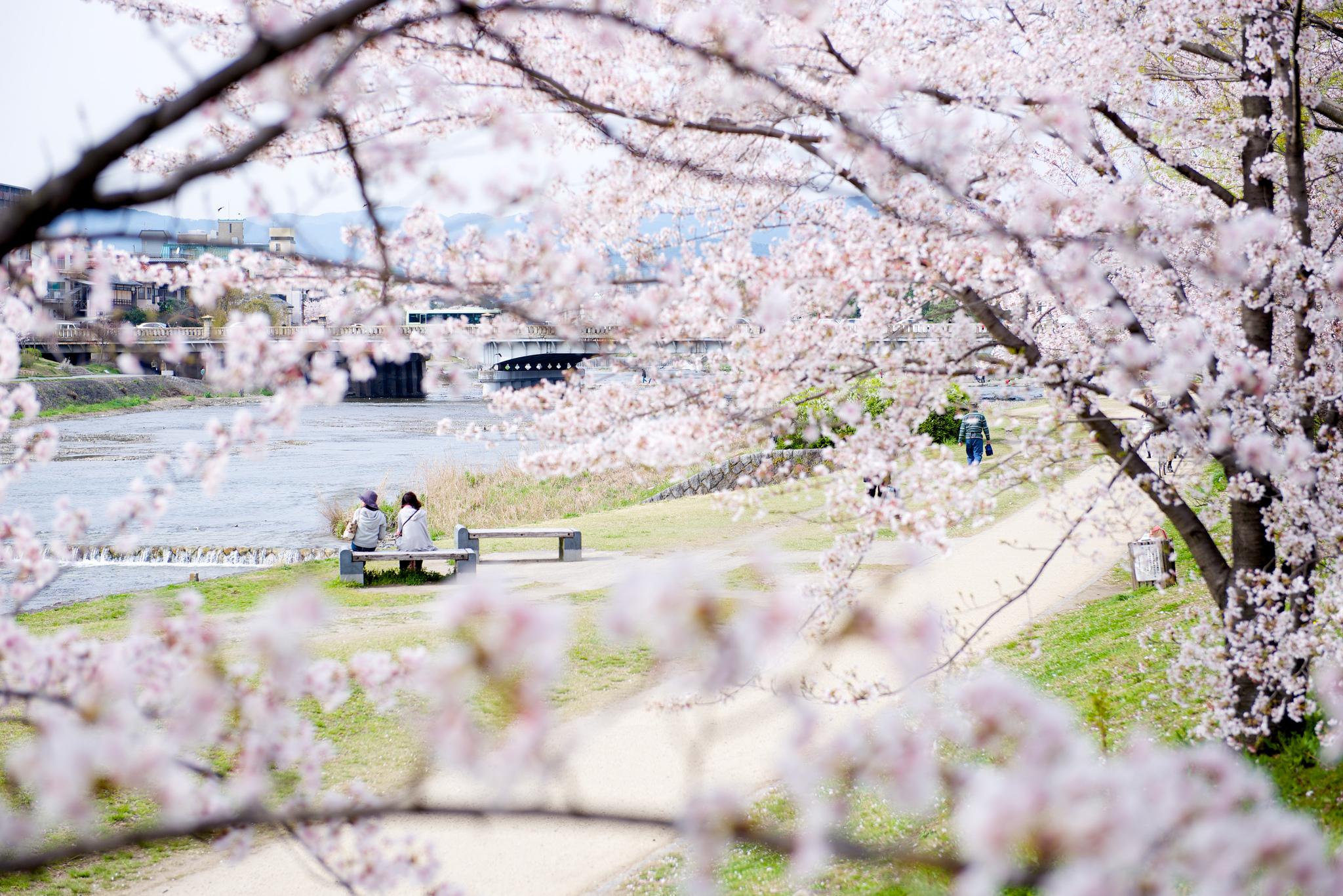 Kyoto Cherry Blossoms The Top 15 Sakura Spots Japan Cheapo