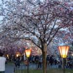 Osaka Mint blossom