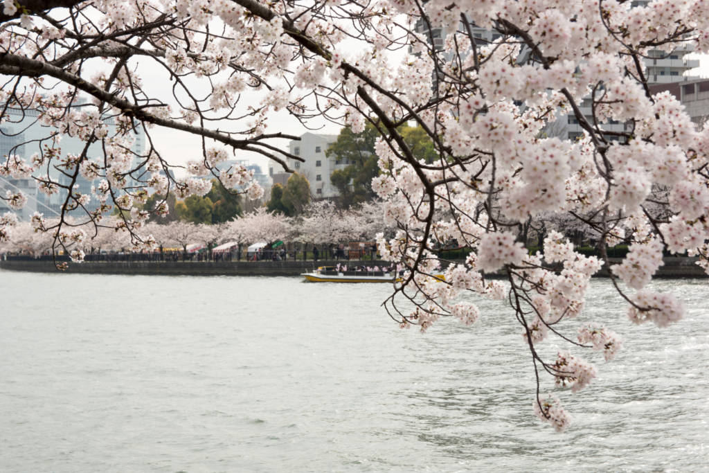 cherry blossoms osaka