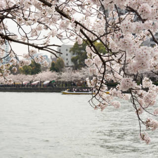 8 Cherry-Picked Cherry Blossom Spots in Osaka