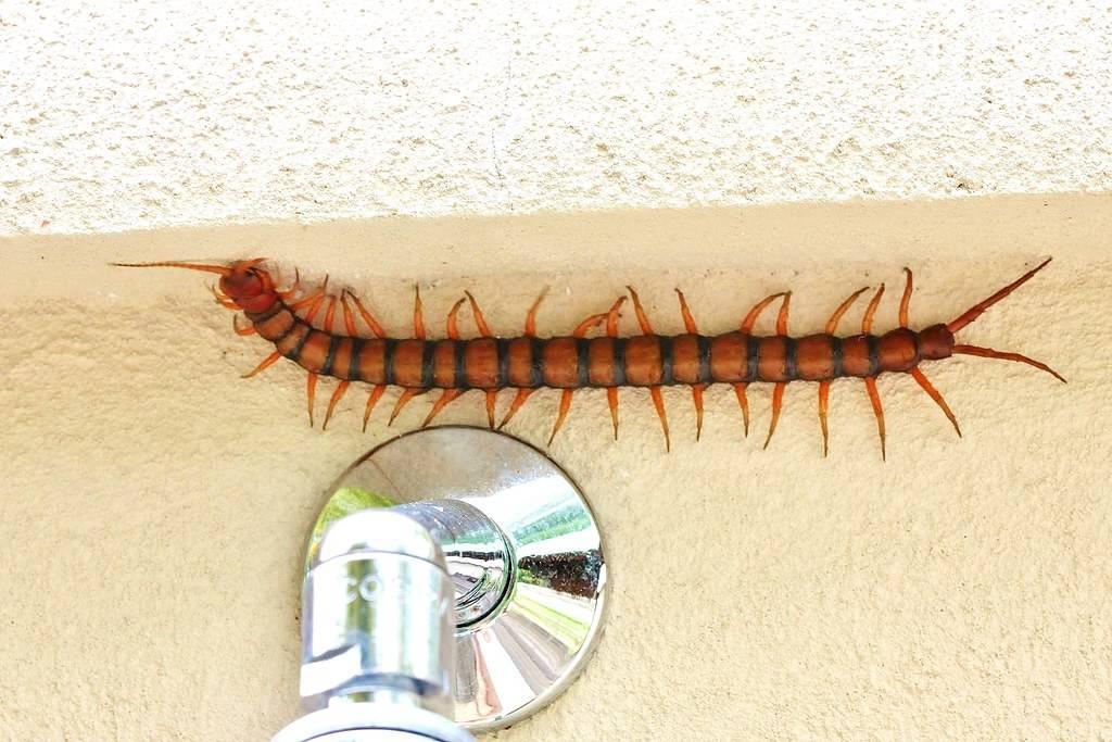 centipede - Adrian Scottow