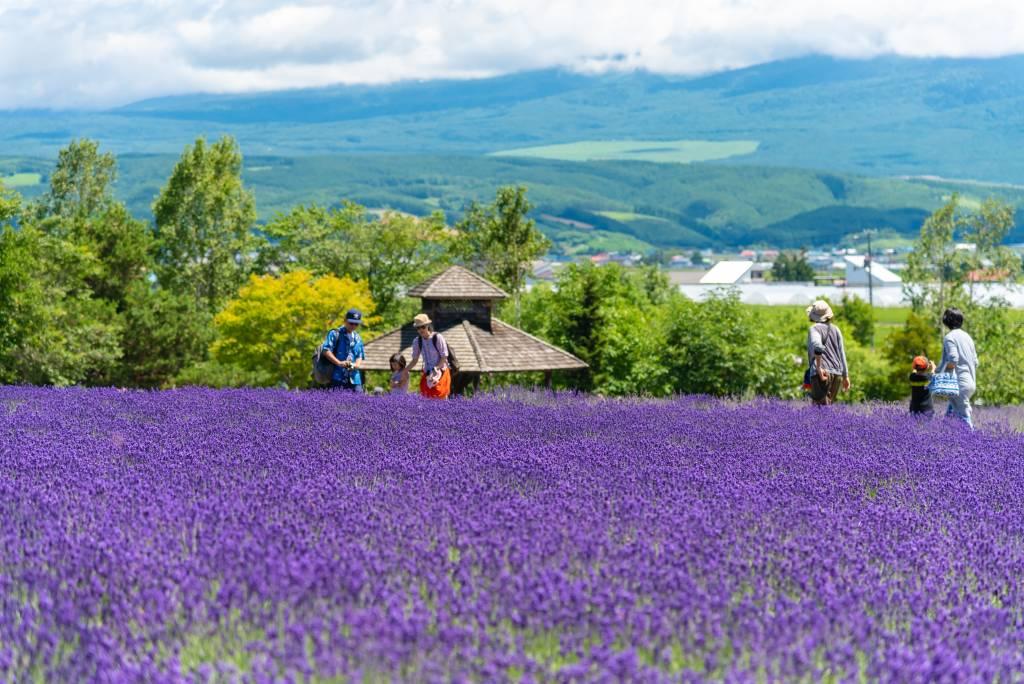 Furano lavendar fields
