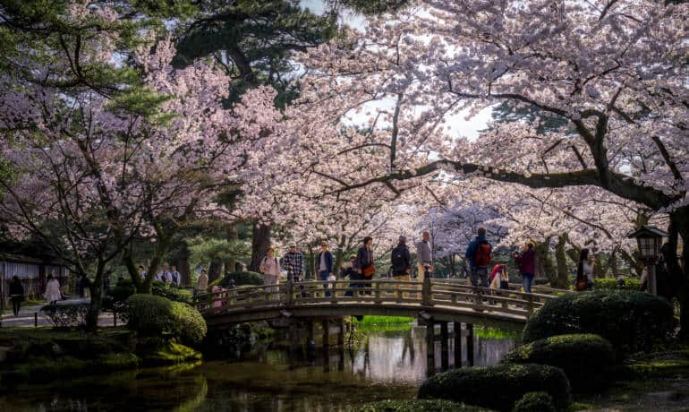 kanazawa cherry blossoms kenrokuen garden